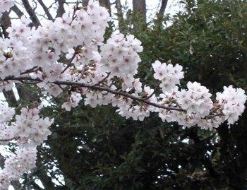 児童公園の桜アップ.jpg