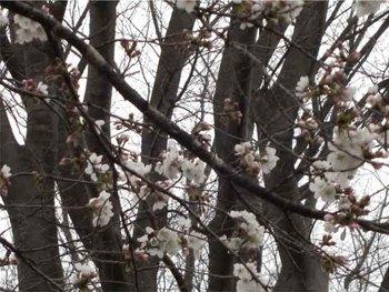 児童公園の桜アップのコピー.jpg