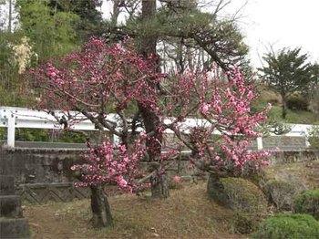 叔父の家の梅のコピー.jpg